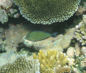 Blue banded surgeonfish on top of the reef
