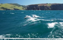 Hector's dolphins at Akaroa Harbour entrance where shelter was not to be found