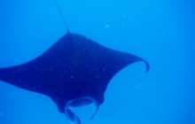 Swimming with the Mantas