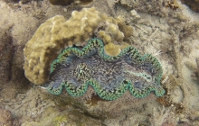 Giant clam near the shore.