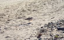 A dotterel - rare NZ bird