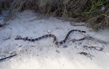 Lots of sea kraits?! See its little mouth???
