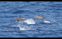 Spinner Dolphins escorted us safely across part of Bligh waters.