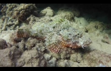 The very well camouflaged Titan Scorpion fish.