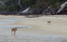 Yes, we did get to see wild dingoes on Fraser Island yesterday!